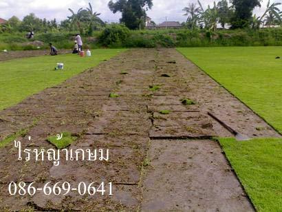 รับปูหญ้านวลน้อย ถมดิน ลงทราย ขายหญ้า  ราคาถูก ไร่หญ้าเกษม 0866690641